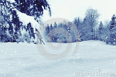 Winter background with snow and pine trees. Christmas holiday concept