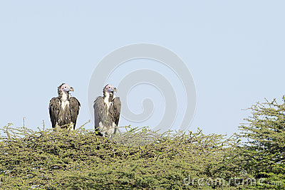 Lapped faced vulture (Torgos tracheliotus)