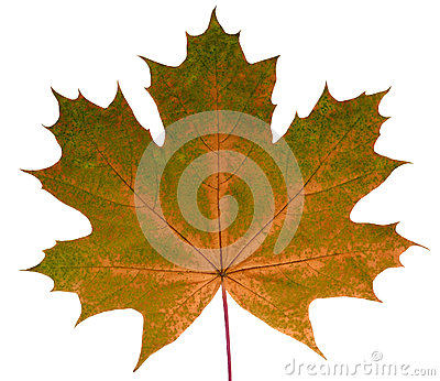 Autumn leaf maple on a white background isolated with clipping path. Nature.