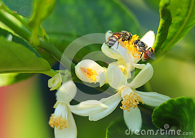 The bees are gathering carpels on the lime flower