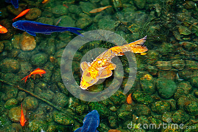 Golden and blue and red koi fish for Golden ornamental pond fish crossword