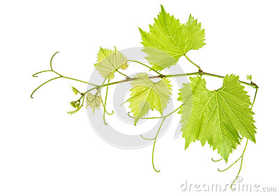Vine leaves branch isolated on white. Green grape leaf