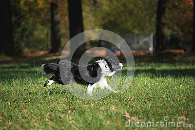 Dog breed Border Collie