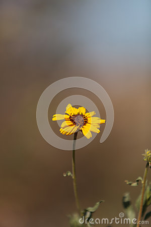 Yellow daisy blooms in summer