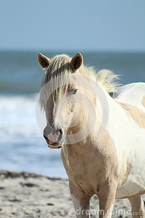 Wild pony at Assateague National Seashore
