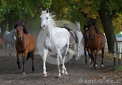 Arabian white horse on the village road
