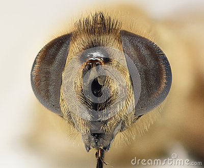 Bee macro head shot