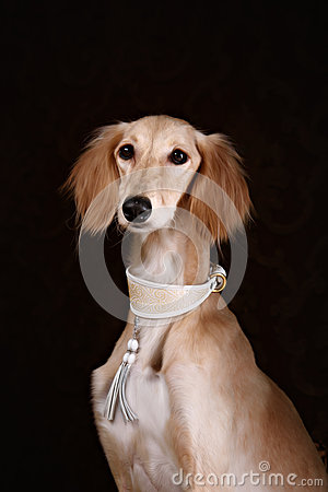 Greyhound saluki dog portrait
