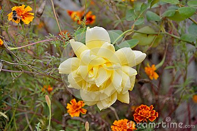 Yellow Rose and Marigold Flowers
