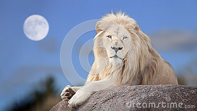 stock image of white lion