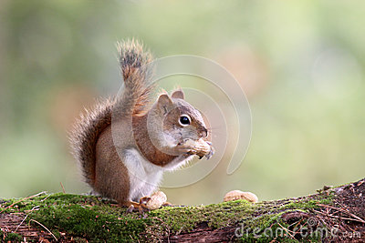 Autumn Squirrel with a Nut