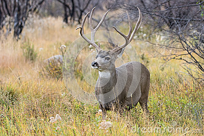 Big mule deer buck in rut
