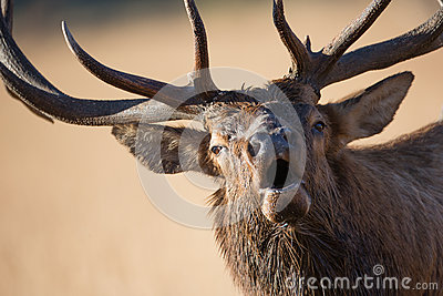 Bull elk bugling up close