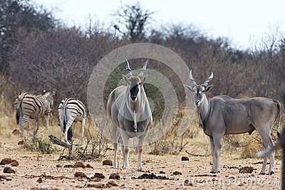 Eland, Taurotragus oryx, at the waterhole Bwabwata, Namibia