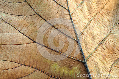 Brown dried leaf. Texture of teak leaf show detail of leaf in background, selective focus