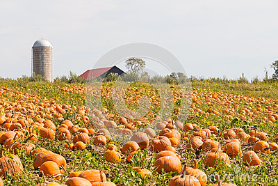 Pumpkin field in a country farm, autumn landscape.