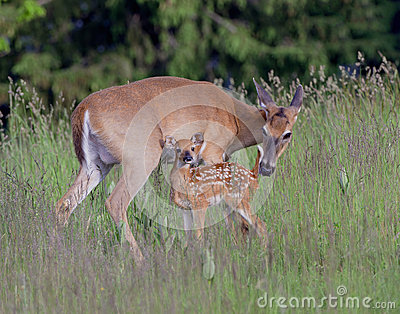 A whitetail doe and fawn.