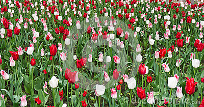 Colourful tulips flowers season garden outdoor beauty