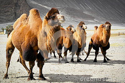 The double hump camels