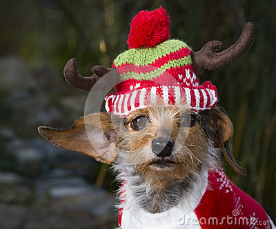 Head Shot Small Mixed Breed Dog Wearing Reindeer Hat