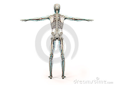 Human anatomy showing back full body, head, shoulders and torso