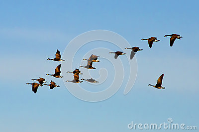 Canadian Geese Flock Flying