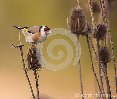 stock image of goldfinch on thistle plant