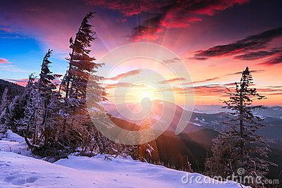 Colorful winter morning in the mountains. Dramatic overcast sky.View of snow-covered conifer trees  at sunrise. Merry Christmas's