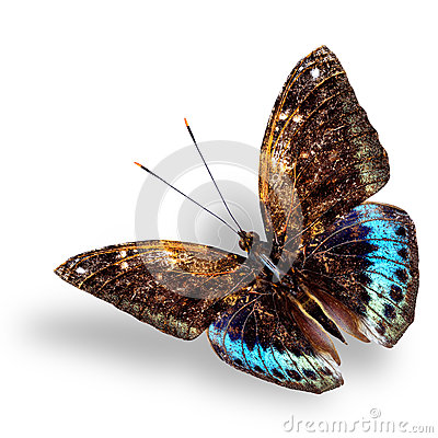 Beautiful blue and brown flying butterfly, Black-tip archduke bu