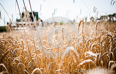 Reaping the wheat harvest