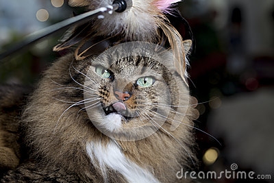 Cat with Feathered Toy
