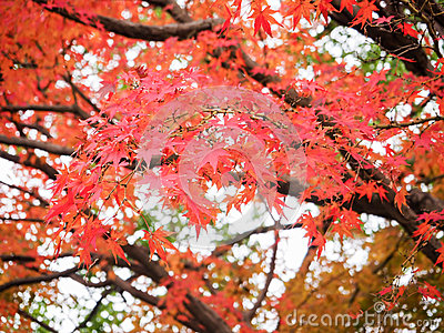 Red maple leave in autumn
