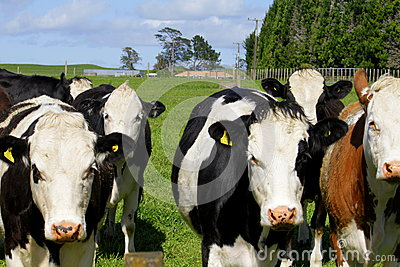 Advancing herd of curious cows