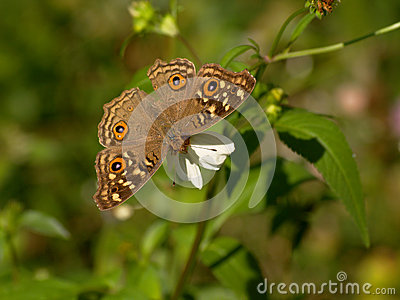 Brown Butterfly and Spanish needle flowers