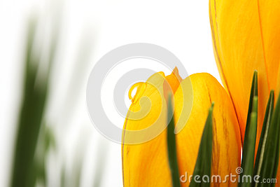 Part of yellow blossom of spring flowers crocuses with water drop on white background and on background with leaves