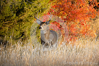 Powerful Male Whitetail Buck Searches For Female Deer During Fall Rutting Season In Kansas