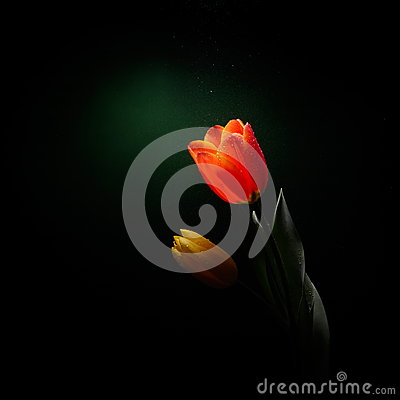 Fresh yellow tulip isolated in studio