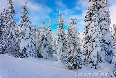 Christmas decorations on snow covered pine trees in the coniferous forest