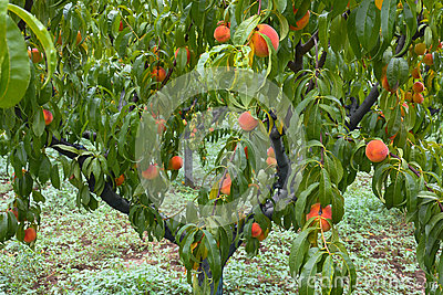 Peach tree with fruits in the garden