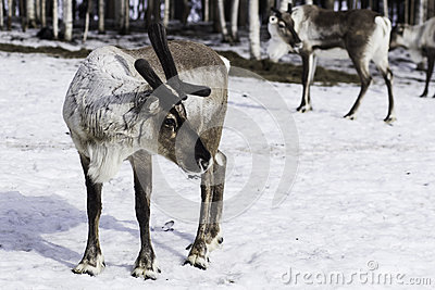 The reindeer in Finland.