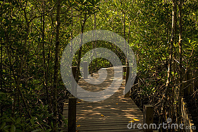Long wood bridge in mangrove forest, Thailand.
