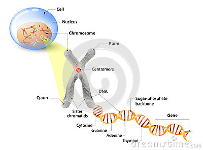 Cell, Chromosome, DNA and gene