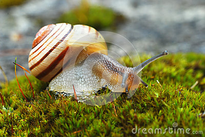 Snail on moss, Cepaea III.