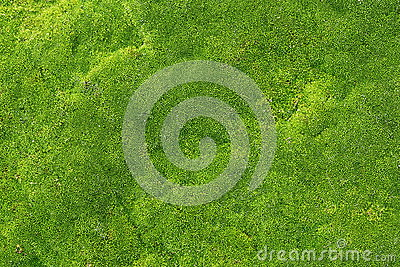 Green moss for texture, background