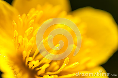 Macro photography, yellow buttercup pistils on green background in nature, spring flower background