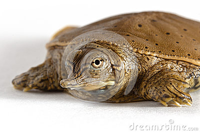 Hatchling Spiny Softshell Turtle - Front Left