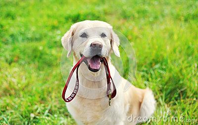 Happy Golden Retriever dog with leash sitting on grass