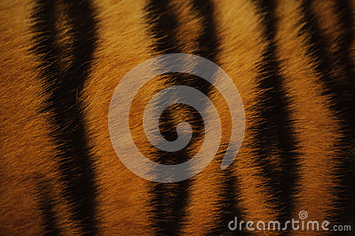 Beautiful tiger fur  colorful texture with orange, beige, yellow and black