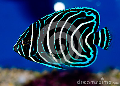 Juvenile Koran Angelfish