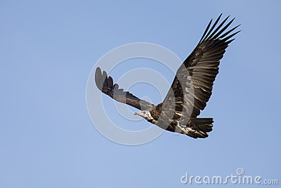 Hooded vulture soar in blue sky looking for food